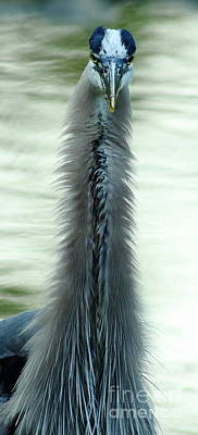 Bad Hair Photograph - Heron - Blow Dry Gone Wild by Robert Frederick