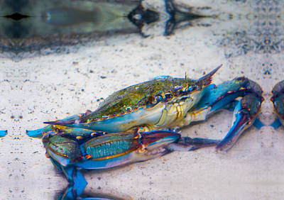 Photograph - Blue Crab by Gene Norris