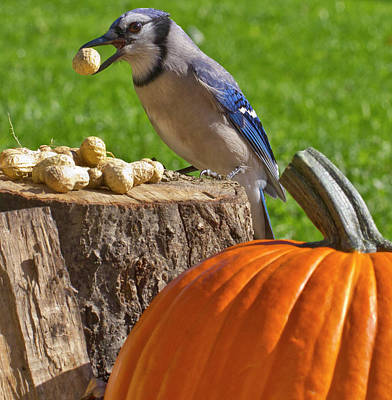 Bluejay Digital Art - Blu Goes Nuts by Shelley Neff