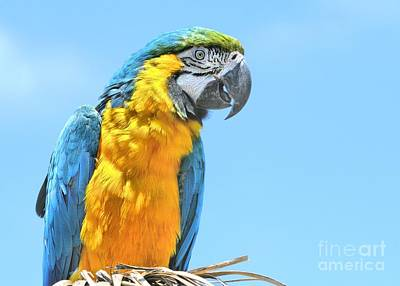 Photograph - Blue And Gold Macaw by Debbie Stahre