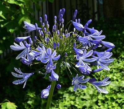 The Who - Blue Agapanthus Lily  by Linda Brody