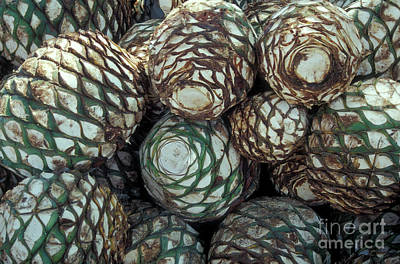 Photograph - Blue Agave Hearts Mexico by John  Mitchell