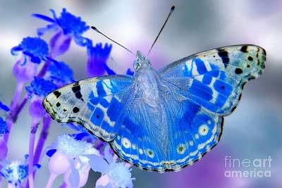 Photograph - Blue American Lady by Frank Townsley