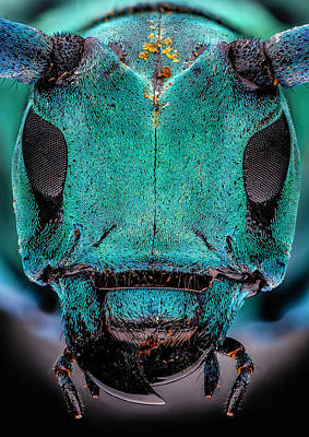Photograph - Blue And Black Longhorn Beetle 3x by Gary Shepard