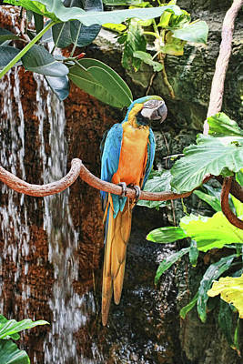 Photograph - Blue And Gold Macaw by Allen Beatty