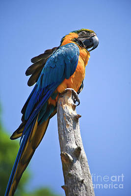 Photograph - Blue And Gold Macaw by Jill Lang
