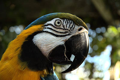 Photograph - Blue And Gold Macaw by Kathi Shotwell