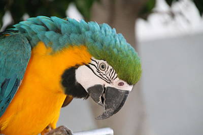 Photograph - Blue And Gold Macaw by Laurel Talabere