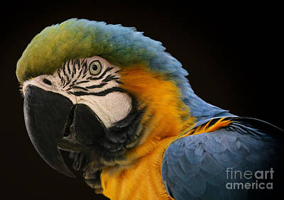 Photograph - Blue And Gold Macaw by Mary Lou Chmura