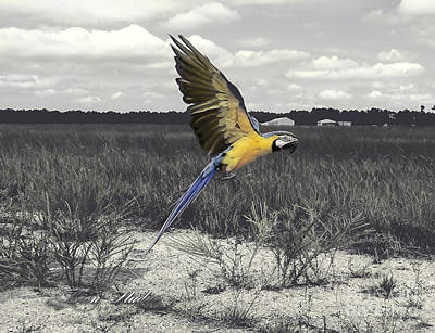 Photograph - Blue And Gold Macaw by Melissa Messick
