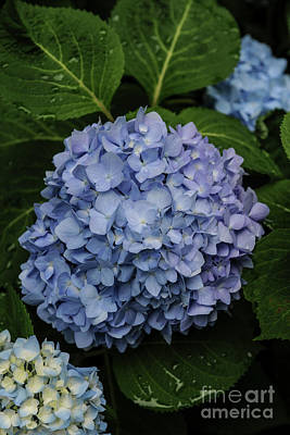 Photograph - Hydrangea  by Dale Powell