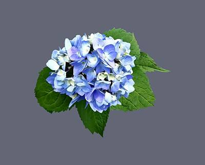 Photograph - Blue And Purple Hydrangea by Susan Savad