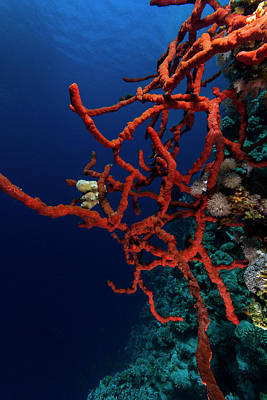 Underwater Photograph - Blue And Red by Rico Besserdich