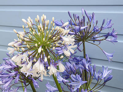 Photograph - Blue And White Agapanthus by Gill Billington