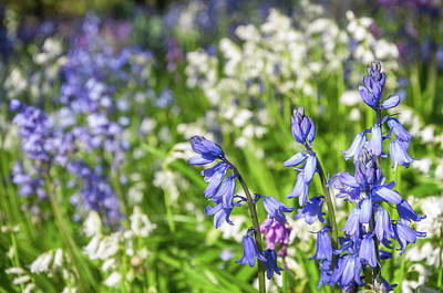 Photograph - Blue And White Hyacinth Flowers by Daniela Constantinescu