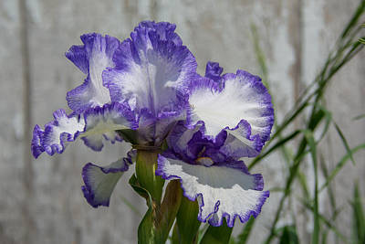 Photograph - Blue And White Iris by Guy Whiteley