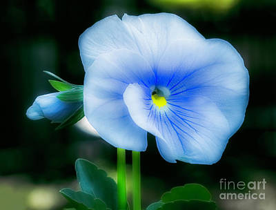 Photograph - Blue And White Pansy Soft Focus by Frances Ann Hattier