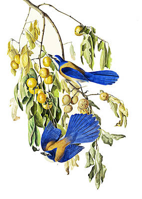 Photograph - Blue And Yellow Birds by Munir Alawi
