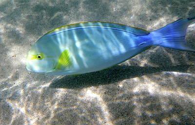 Photograph - Blue And Yellow Hawaiian Reef Fish by Erika Swartzkopf