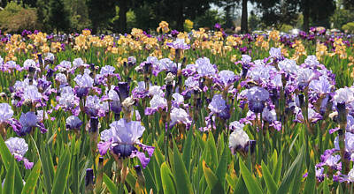 Photograph - Blue And Yellow Irises by Katie Wing Vigil