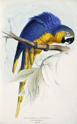Macaw Drawing - Blue And Yellow Macaw. Ara Ararauna by Edward Lear