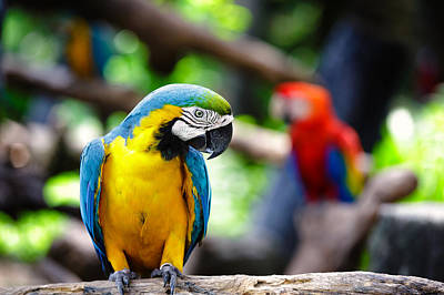 Blue Digital Art - Blue-and-yellow Macaw by Maye Loeser