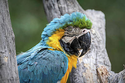Photograph - Blue And Yellow Macaw by Teresa Wilson
