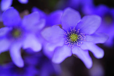 Photograph - Blue Anemone Macro by Jenny Rainbow