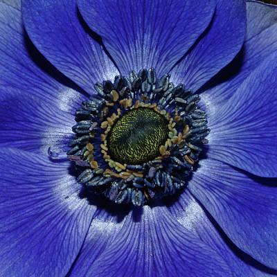 Blue Anemone Art Print by Robert Shard
