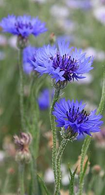 Photograph - Blue Astera by Bruce Bley