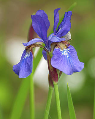 Photograph - Blue Bearded Iris by Brenda Jacobs