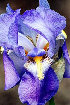 Photograph - Blue Bearded Iris by Mark Wiley