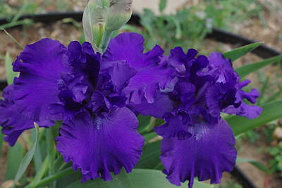 Photograph - Blue Bearded Irises by Robyn Stacey