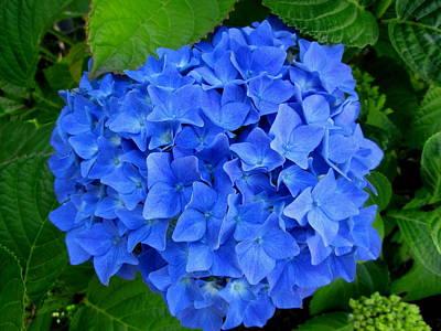 Photograph - Blue Beauty #1 by Dreamweaver Gallery