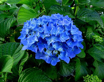 Photograph - Blue Beauty #2 by Dreamweaver Gallery