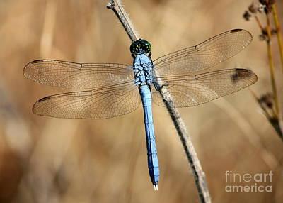 Photograph - Blue Beauty by Carol Groenen