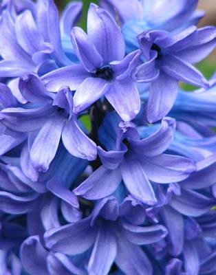 Blue Belles Art Print by Staci-Jill Burnley