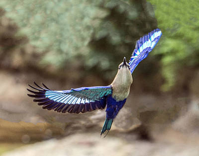 Blue-bellied Roller In Flight Art Print
