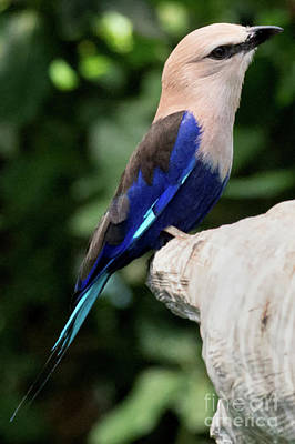 Photograph - Blue-bellied Roller by Loriannah Hespe