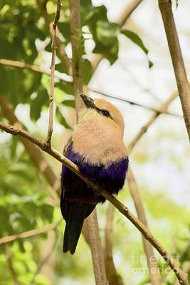 Photograph -  Blue-bellied Roller by Sean Griffin