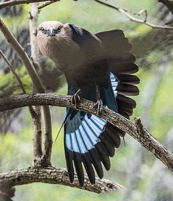 Photograph - Blue Bellied Roller Stretching His Flight Feathers by William Bitman