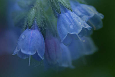 Photograph - Blue Bells by Ann Lauwers
