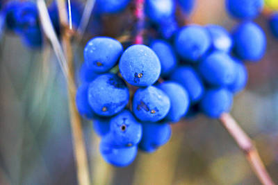 Photograph - Blue Berries In Autumn by Marie Jamieson