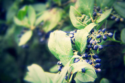 Blue Berry Original by Suraj Maharjan