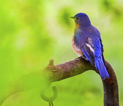 Photograph - Blue Bird by CK Brown