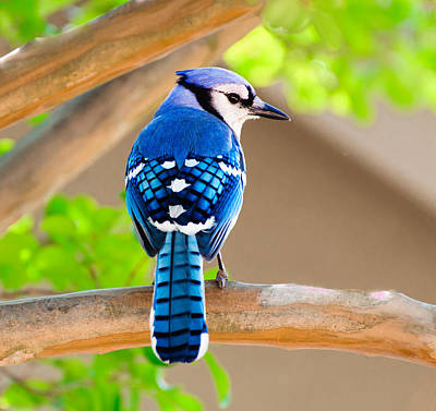 Photograph - Blue Jay by John Johnson