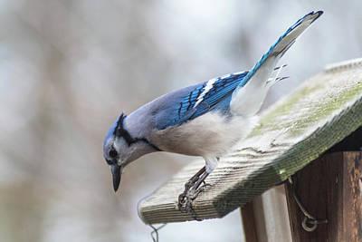 Photograph - Blue Bird  by Joseph Caban