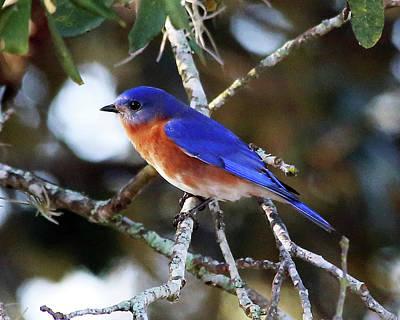 Photograph - Blue Bird by Lamarre Labadie
