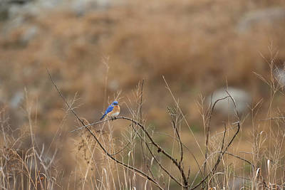 Photograph - Blue Bird Of Happiness by Brian Hale