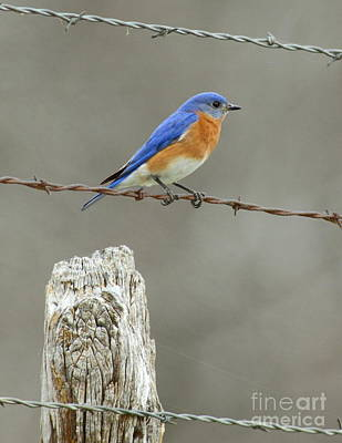 Blue Bird On Barbed Wire Art Print by Robert Frederick